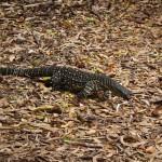 Ein Waran auf der Whitsunday Island